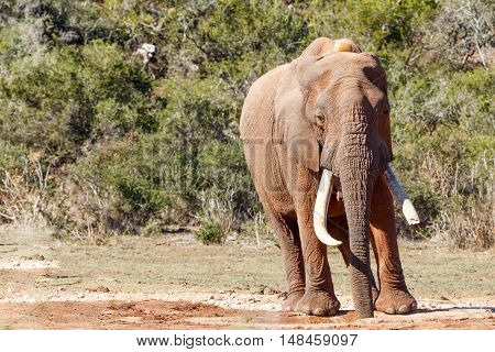 African Bush Elephant Drinking Water At The Dam