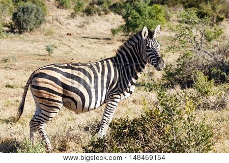 Burchell's Zebra Standing In The Field