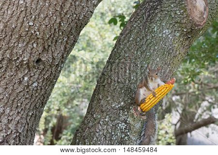 Squirrel and corn cob attached to a tree
