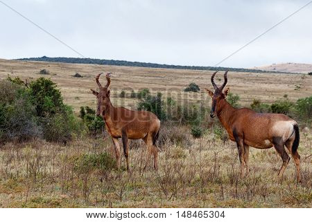 Red Hartebeest Standing In The Field