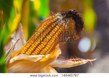 Immature wizened diseased and moldy corn cob on the field close-up. Collect corn crop.