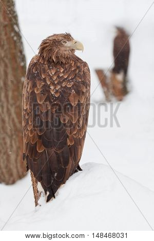 proud eagle standing on the snowy hill
