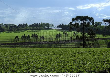 Soy field in the district of Lerroville Londrina Paraná Brazil.
