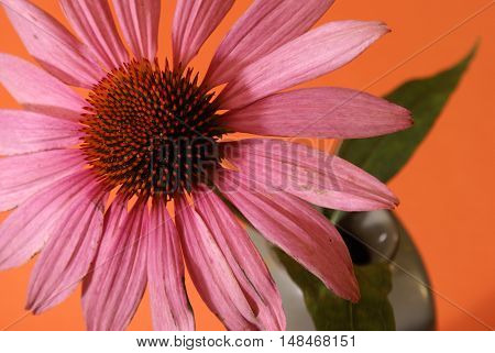 A beautiful Echinacea image while in full bloom before being processed for futhur use in herbal medicines and teas.