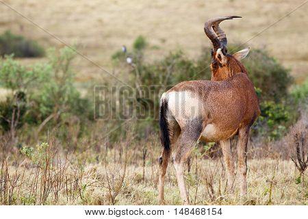 Shy Red Hartebeest