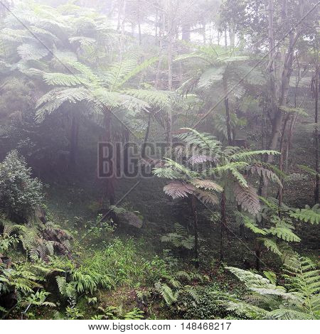 Tree ferns at a foggy day on Madeira