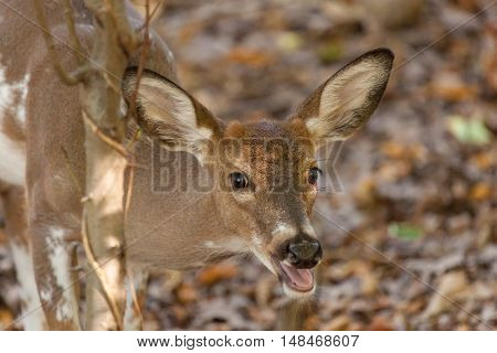 Young Piebald Whitetailed Buck