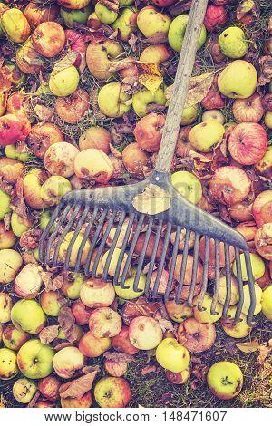 Rake On Rotten Apples In A Garden