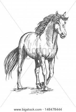 White horse standing and resting with front hoof lifted up. Pencil sketch portrait. Powerful beautiful pedigree mustang with proud glance