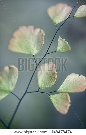 Macro detail of maiden hair fern leaves
