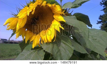 Curly over Sunflower in the Skagit Valley, Washington.
