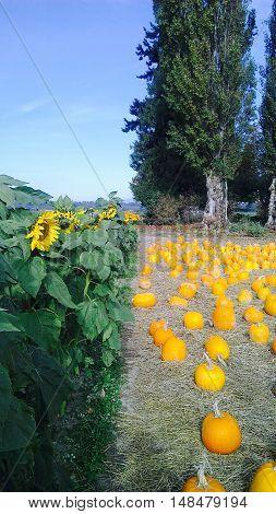Sunflower and pumpkins on the farm in Skagit Valley, Washington.