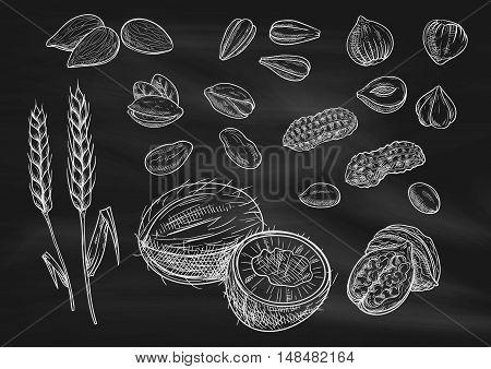 Nuts, grain chalk sketch on blackboard. Isolated vector icons of coconut, almond, pistachio, sunflower seeds, peanut, hazelnut, walnut, coffee beans wheat ears