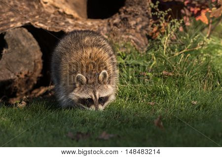 Raccoon (Procyon lotor) Walks Forward - captive animal