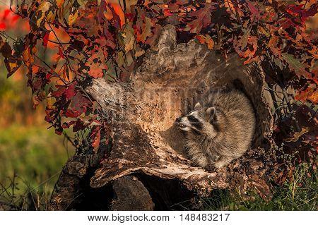 Raccoon (Procyon lotor) Inside Log - captive animal