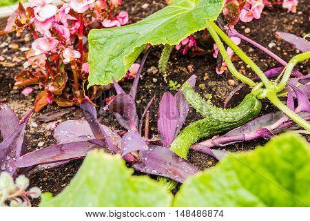 Raw organic mini cucumbers in the garden