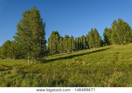 Beautiful natural background with long thin birch trees with green leaves in a birch grove on a background of blue sky
