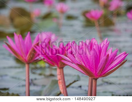 beautiful pink waterlily or lotus flower in the river.