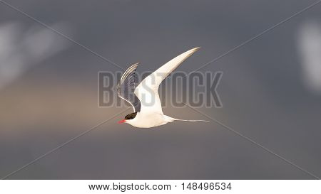 Arctic Tern In Flight, Evening Sun