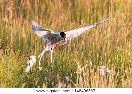 Arctic Tern With A Fish - Warm Evening Sun