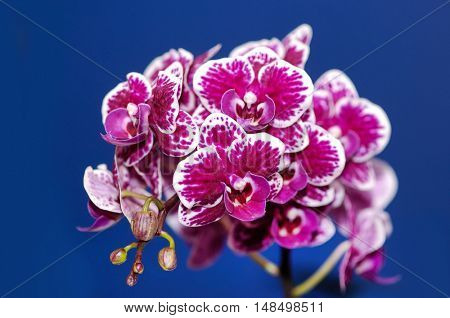 branch of orchid flower on blue background