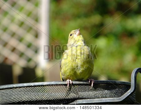 Greenfinch perched on a feeding station tray