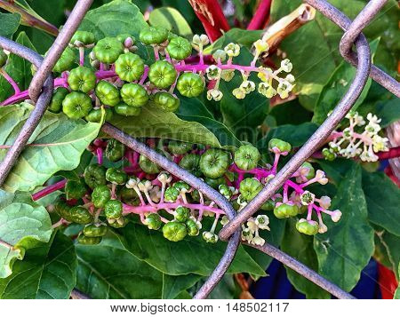 pokeberry flower with hot pink stem through chain link fence
