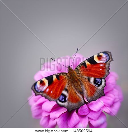 Peacock Butterfly (inachis Io) On A Pink Flower Zinnias On A Neutral Background With Space For Text