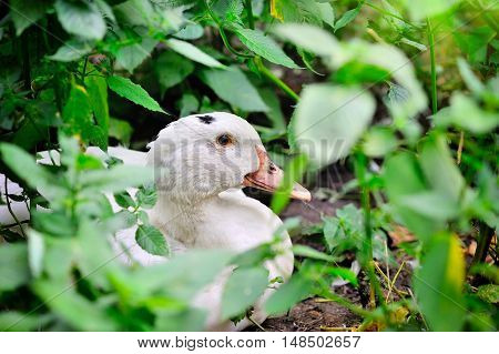 Adult Home White Duck Sitting In The Tall Green Grass