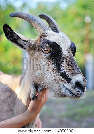 Close Up Portrait Of A Goat. Farmer Hand That Stroked The Goat