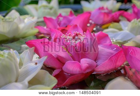Pink and white Indian lotus background, Bhuddism religion