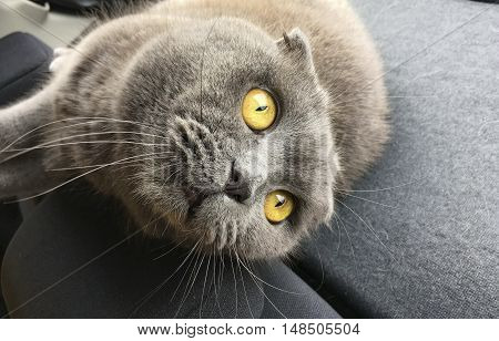 very expressive eyes gray cat Scottish fold cat lying in the car with grey upholstery and looks with wide open eyes amber-colored, orange