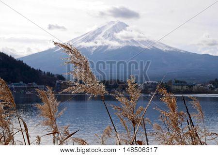 Golden grass against Mount Fuji. Lake Kawaguchi. Yamanashi Prefecture. Fuji Five Lakes. Japan.