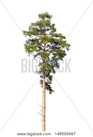 European Pine Tree Isolated On White