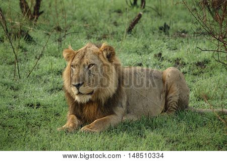 Closeup of old male lion with scars lying down looking at front