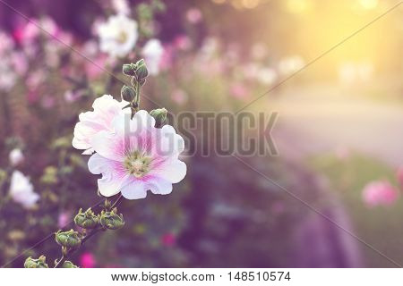 Flowers at sunrise in graden with sun light and vintage style