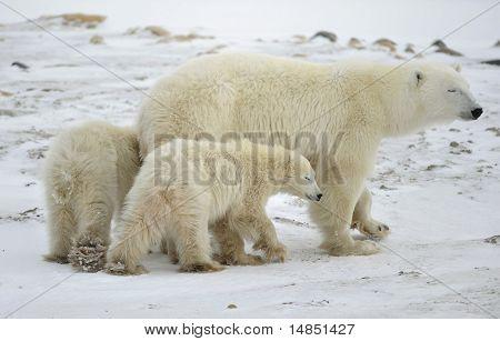 Polar Bärin mit zwei Bear Cubs.
