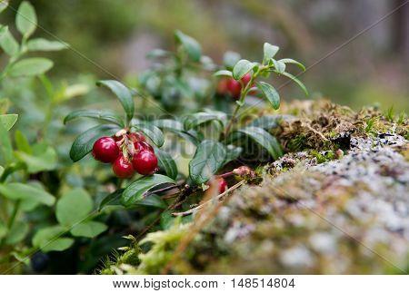 Cowberry (Vaccinium vitis-idaea) growing in woods, Finland