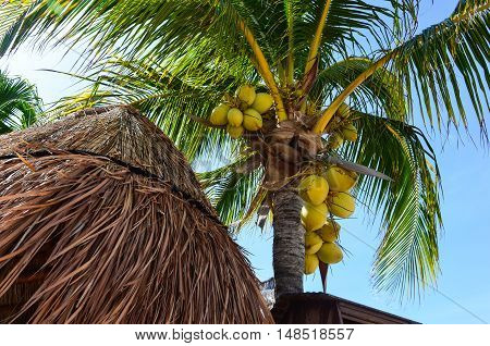 Palm tree with bunches of king coconuts on the blue sky background and house with thatched roof