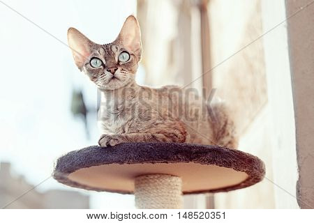 Beautiful devon rex cat is sitting on the balcony on the scratching post and watching the birds. Cat is enjoying to be in fresh air