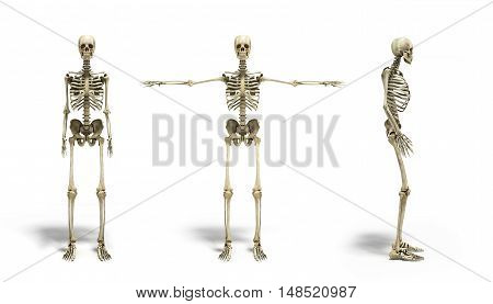 Collection Of Medical Accurate 3D Illustration Of The Human Skeleton