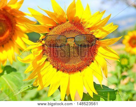 Sunflower with sunglasses and sunflower field blue sky background