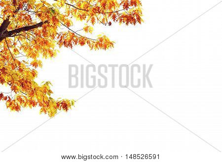 Yellow maple tree isolated on white background with plenty of copy space on the right