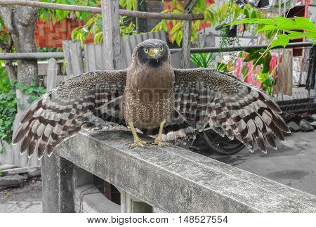 Falcon Peregrine spreading wing while perched .