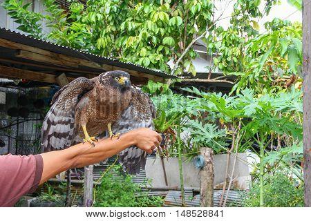 Falcon Peregrine sitting on hand Beautiful .