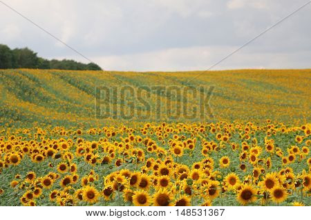 Sunflowers in August in the Russian field