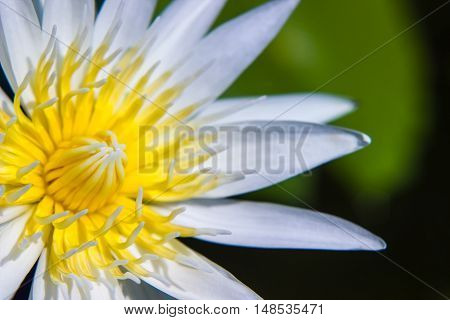 part of white Lotus Water Lilly pollen