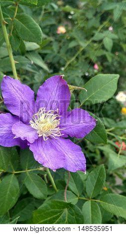 The violet flower of scrambler plant - clematis