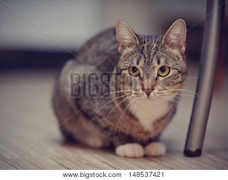 The striped cat with white paws on a floor.