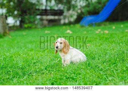 Puppy American Cocker Spaniel sitting on a green lawn
